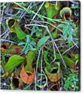 Northern Pitcher Plant Acrylic Print