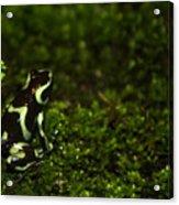 Green Poison Dart Frog Acrylic Print