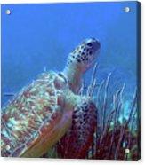 Green Sea Turtle 3 Acrylic Print