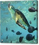 Green Sea Turtle Balicasag Island Acrylic Print