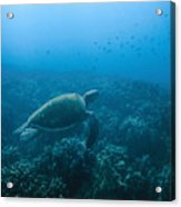 Green Sea Turtle Swimming Over Coral Acrylic Print
