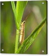 Green Slantfaced Grasshopper Acrylic Print