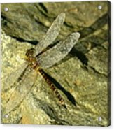 Green Spotted Dragonfly 1 Acrylic Print
