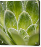Green Succulent  Acrylic Print