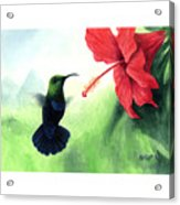 Green-throated Carib Hummingbird And Red Hibiscus Acrylic Print