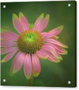 Green Tipped Coneflower Acrylic Print