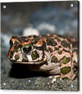 Green Toad Acrylic Print