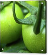 Green Tomatoes No.3 Acrylic Print