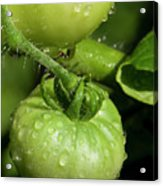 Green Tomatoes Acrylic Print