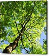 Summer Tree Canopy Acrylic Print