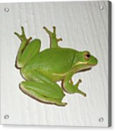 Green Tree Frog - Hyla Cinerea Acrylic Print