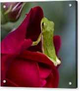 Green Tree Frog And Red Roses Acrylic Print