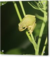 Green Tree Frog On Hibiscus Acrylic Print