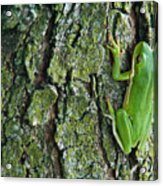 Green Tree Frog On Lichen Covered Bark Acrylic Print