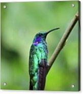 Green Violet Ear Hummingbird Acrylic Print