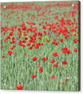 Green Wheat And Red Poppy Flowers Field Acrylic Print