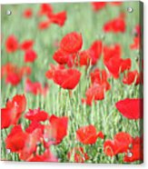 Green Wheat And Red Poppy Flowers Acrylic Print