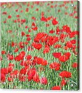 Green Wheat With Poppy Flowers Acrylic Print