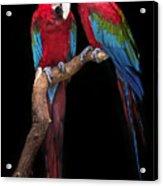 Green Winged Macaw Portrait Acrylic Print