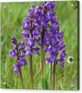 Green-winged Orchids Acrylic Print