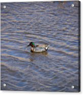 Green-winged Teal 5 Acrylic Print
