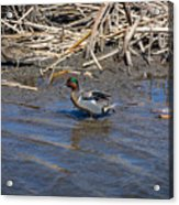 Green-winged Teal 7 Acrylic Print