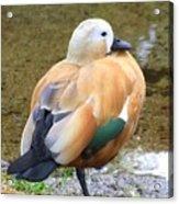 Green Winged Wood Duck 2 Acrylic Print