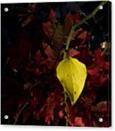 Greenbriar Leaf In Evening Sun Acrylic Print