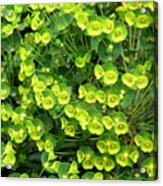 Greens And Yellows Acrylic Print