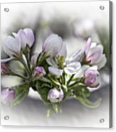 greeting card - Apple Blossoms  Acrylic Print