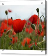 Greeting Card - Poppies In France Acrylic Print