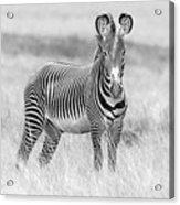 Grevy Zebra  5953bw Acrylic Print