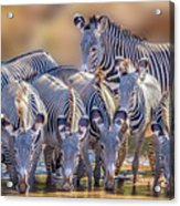 Grevy Zebra Party  7528 Acrylic Print