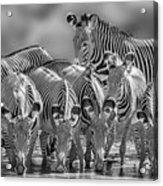 Grevy Zebra Party  7528bw Acrylic Print
