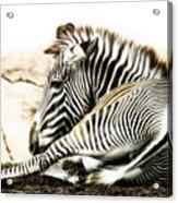 Grevy's Zebra Acrylic Print by Bill Tiepelman