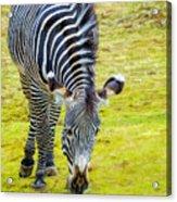 Grevys Zebra Left Acrylic Print