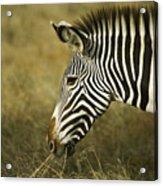 Grevy's Zebra Acrylic Print