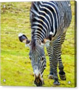 Grevys Zebra Right Acrylic Print