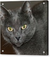 Grey Cat With Yellow Eyes Acrylic Print