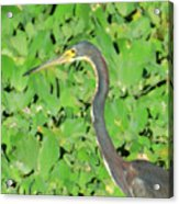 Grey Crane On Green Acrylic Print