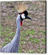 Grey Crowned Crain Of Africa 3 Acrylic Print
