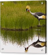 Grey Crowned Crane - Signed Acrylic Print