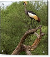 Grey Crowned Crane Acrylic Print