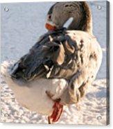 Grey Goose Grooming Acrylic Print