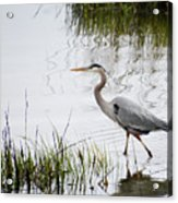 Grey Heron #3 Acrylic Print
