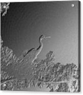 Grey Heron At Morning In Bas Relief Acrylic Print