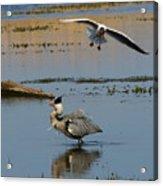Grey Heron Being Mobbed Acrylic Print
