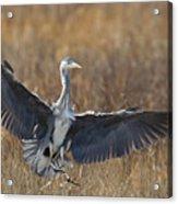 Grey Heron Landing Acrylic Print