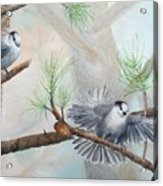 Grey Jays In A Jack Pine Acrylic Print