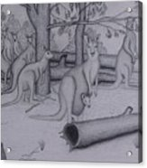 Grey Kangaroos Acrylic Print